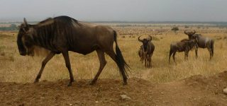 Wildebeest in Masai Mara Game Reserve