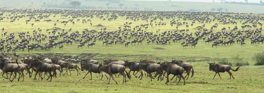 Wildebeest migration in masai mara (migration period)