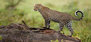 Leopards in Masai Mara