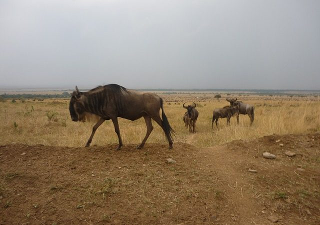 3 Days Mara Wildebeest Migration Safari