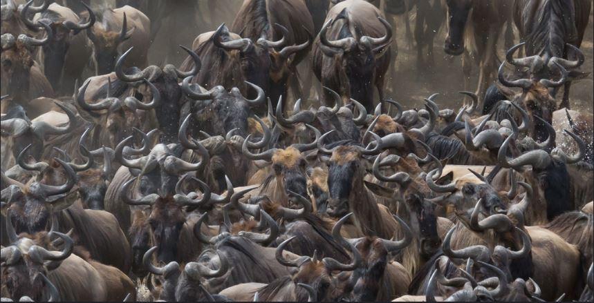 The Masai Mara Wildebeest Migration