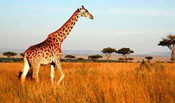 Maasai Mara National Reserve Safaris
