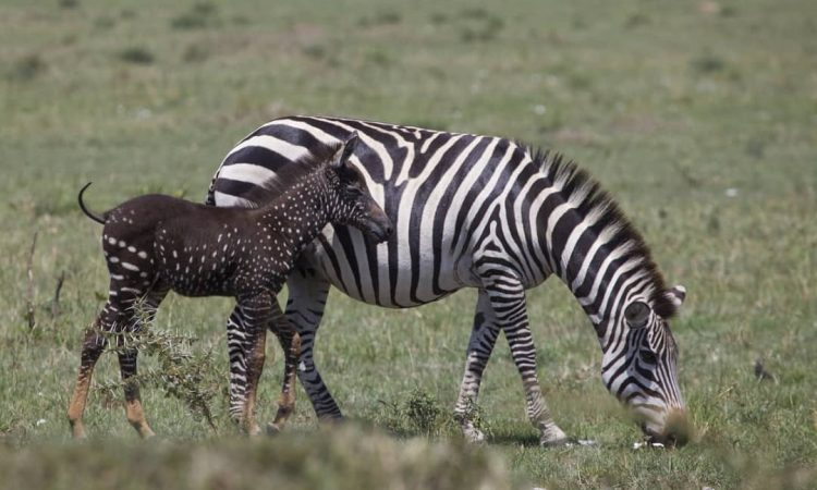 Rare Black Spotted Zebra