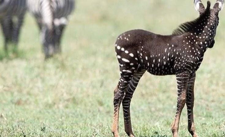 Polka Dotted Zebra