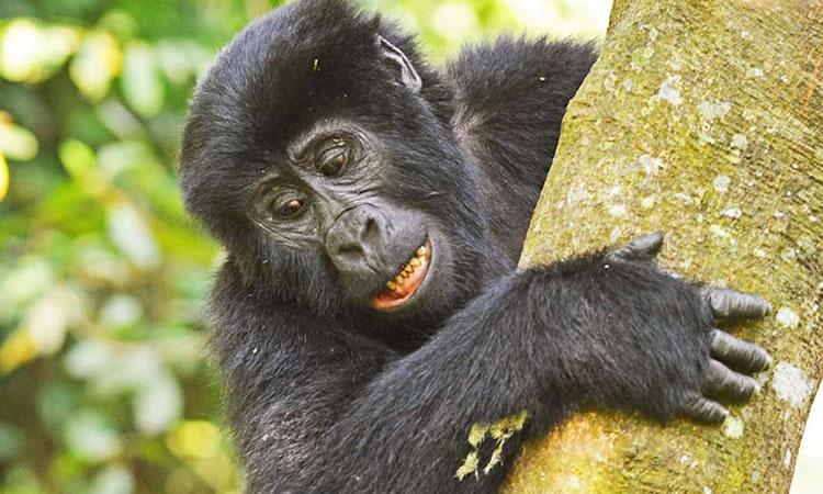 6 Days Masai Mara & Bwindi Gorilla Trekking tour