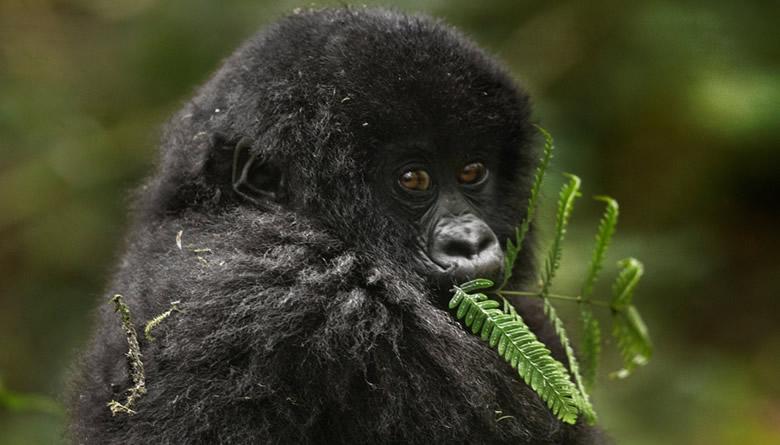 7 Days Kenya and Rwanda gorilla trekking tour