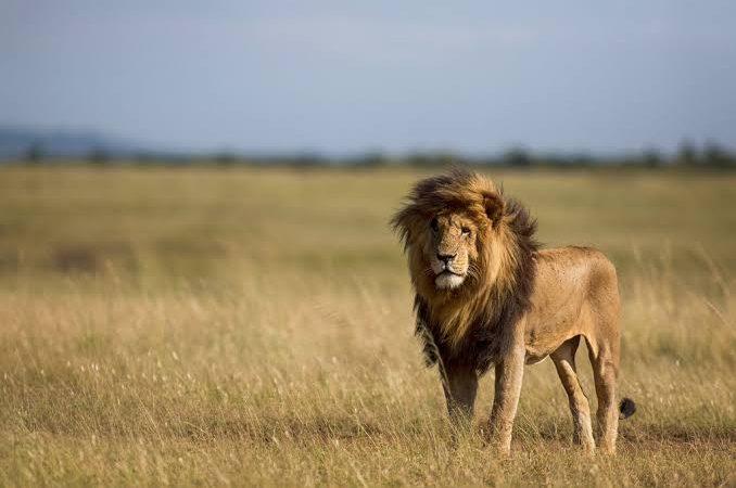 Lions in Masai Mara National Reserve