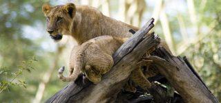 4 Days Maasai Mara & Lake Nakuru Wildlife safari