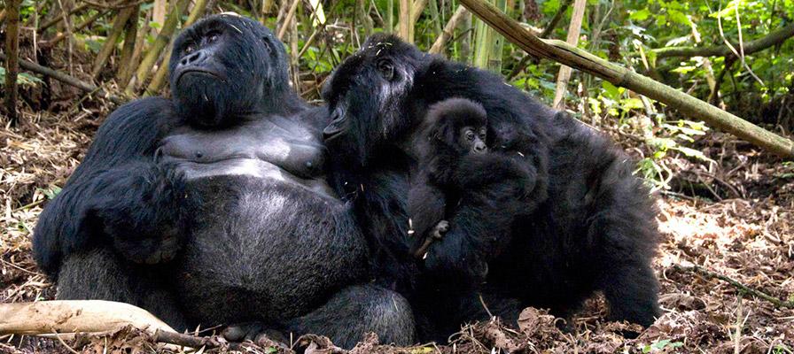 Mountain gorilla groupsin Volcanoes National Park